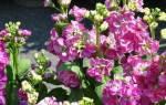 Левкое цветы многолетники