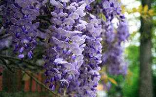 Как ухаживать за глицинией в саду