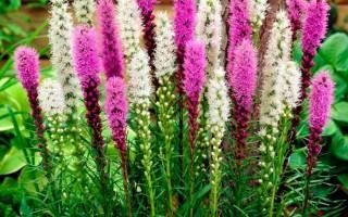 Цветы лиатрис посадка и уход