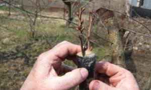 На какое дерево можно привить грушу