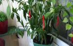 Как вырастить красный перец чили дома