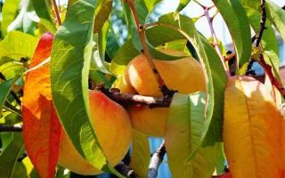 Как правильно обрезать персик осенью