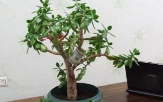 Как вырастить толстянку из листика