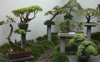 Что такое бонсай: формы и советы по выращиванию