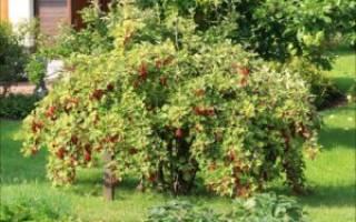 Как правильно посадить смородину весной