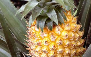 Выращивание ананасов в теплице