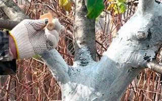 Нужно ли белить плодовые деревья осенью