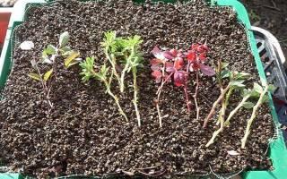 Размножение барбариса черенками осенью