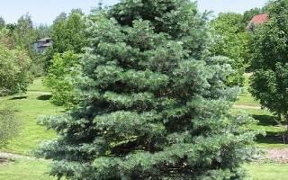 Быстрорастущие хвойные деревья для ландшафтного дизайна