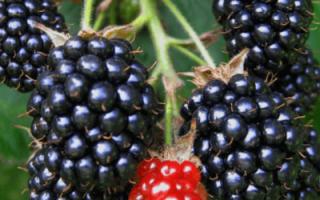 Ежевика садовая посадка и уход осенью