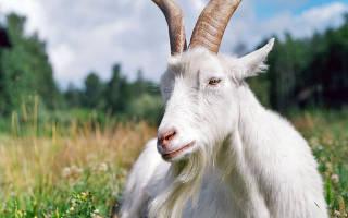 Как содержать козу на даче