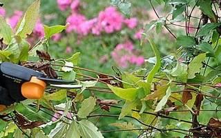 Обрезка клематиса: группы, виды и пошаговая инструкция