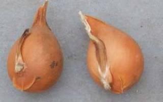 Как хранить луковицы тюльпанов до весны