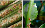 Как бороться со щитовкой на комнатных растениях