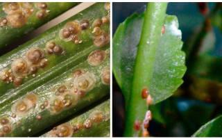 Откуда берется щитовка на комнатных растениях