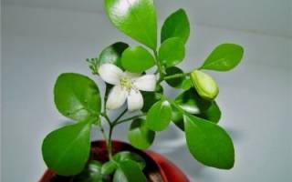 Императорский цветок мурайя