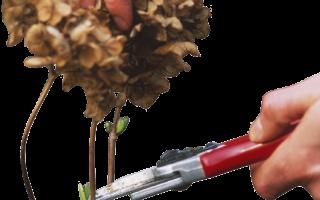Как обрезать гортензию осенью