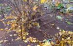 Кусты смородины уход осенью