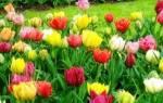 Какие существуют виды и сорта тюльпанов?