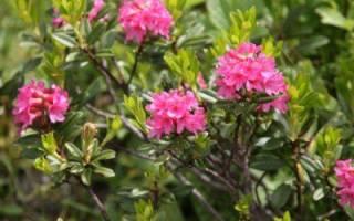 Рододендрон вечнозеленый посадка и уход