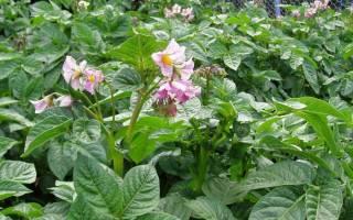 Нужно ли обрывать цветы у картофеля