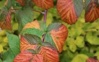 Чем удобрять малину осенью