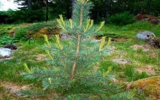 Определение возраста дерева по годичным кольцам