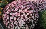 Когда можно пересаживать хризантемы осенью