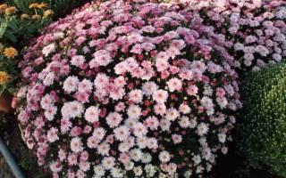 Пересадка хризантем осенью в открытый грунт