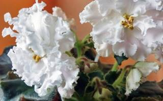 Фиалка «АВ-Панакота»: описание сорта и особенности выращивания