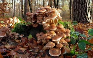 Какие съедобные грибы собирают люди осенью