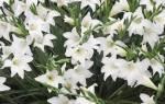 Когда сажать лилии осенью или весной