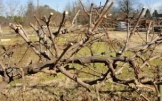 Омоложение винограда осенью