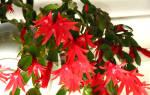 Цветок хатиора уход в домашних условиях