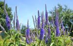 Вероника цветок выращивание