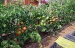 Как поливать помидоры после высадки в грунт