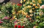 Лучшие многолетники для сада длительного цветения