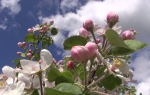 Сроки обработки плодовых деревьев от вредителей весной