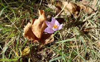 Какой цветок вырос из крови прометея