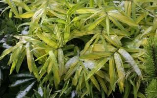 Можно ли вырастить бамбук в подмосковье