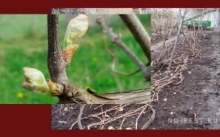 Опрыскивание винограда весной от болезней