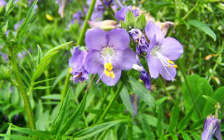 Цветы синюха голубая садовая