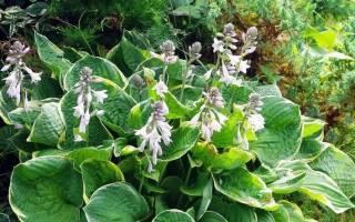 Хоста «Кристмас три»: описание и выращивание