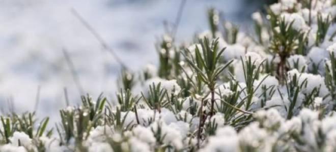 Лаванда зимовка в открытом грунте