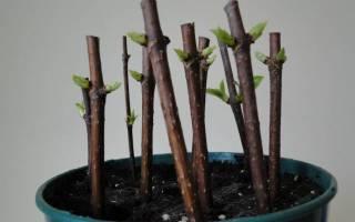 Размножение гортензии черенками осенью в домашних условиях