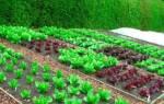 Какие овощи растут в тени на даче