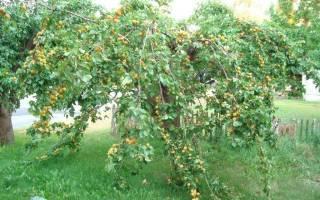 Как вырастить абрикос в средней полосе России