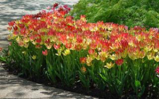 Когда сажать тюльпаны осенью в каком месяце