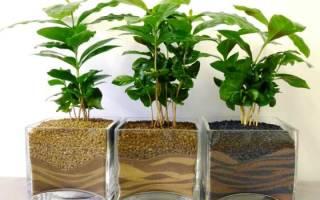 Как пересадить кофейное дерево в домашних условиях