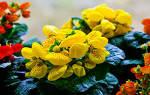 Кальцеолярия: виды, способы размножения, посадка и уход